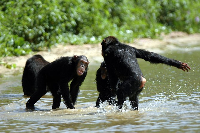 1 day Ngamba Island Chimpanzee tracking and bird watching in Entebbe