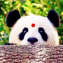 成都大熊貓繁育研究基地+都江堰景區一日遊(美食小團+川劇蓋碗茶+親子同樂+專車接早)