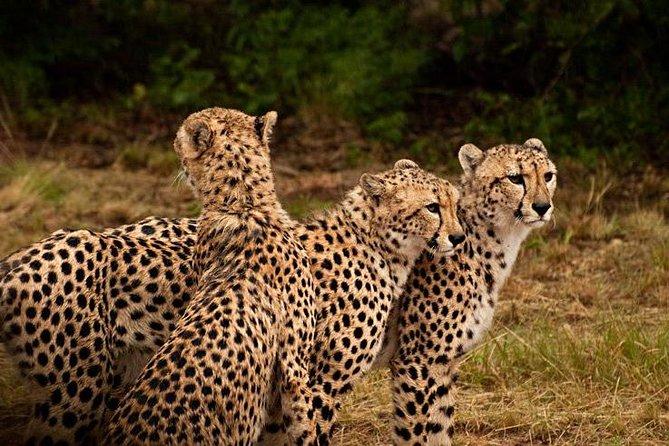 Ann Van Dyk Cheetah Centre Half-Day Tour from Johannesburg