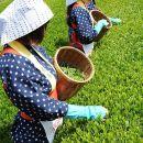 Green Tea Picking and Kawagoe Walking Tour Combo from Shinjuku