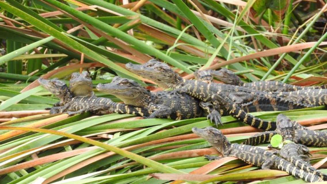 Everglades Family Adventure Tour From Greater Fort Myers Naples Area