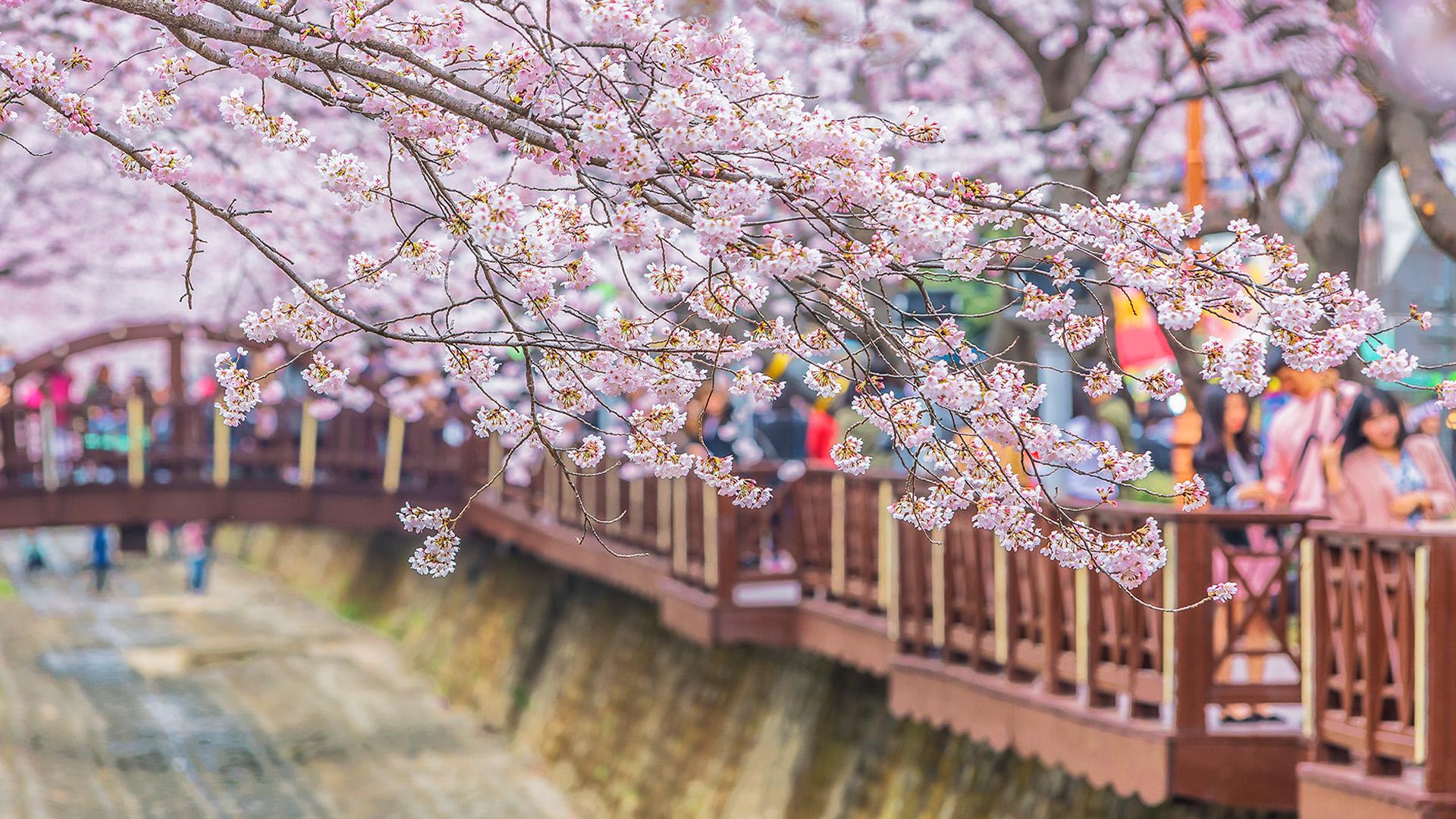 【2020櫻花季】韓國賞櫻首爾出發|鎮海軍港節櫻花季慶典一日遊