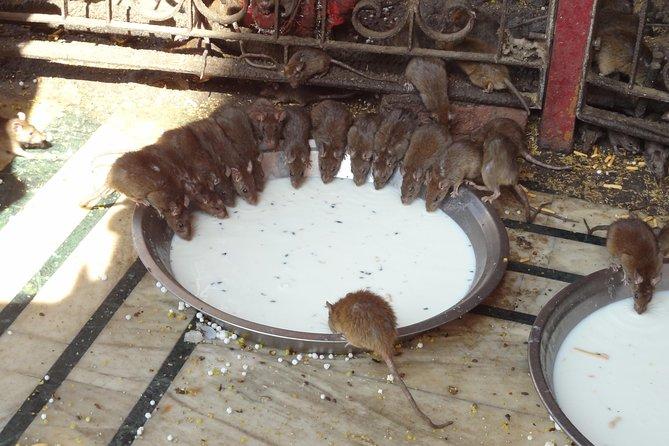 Deshnok Village Rat temple visit at Bikaner
