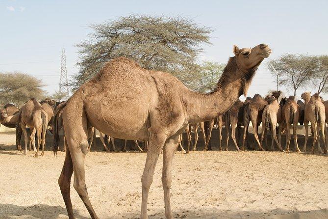 Bikaner Camel Breeding Farm & other Highlights