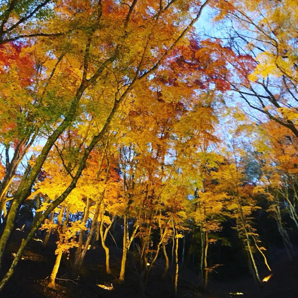 日本愛知縣名古屋香嵐溪紅葉+四季櫻+土岐奧萊一日遊