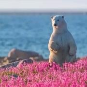 北极熊战士