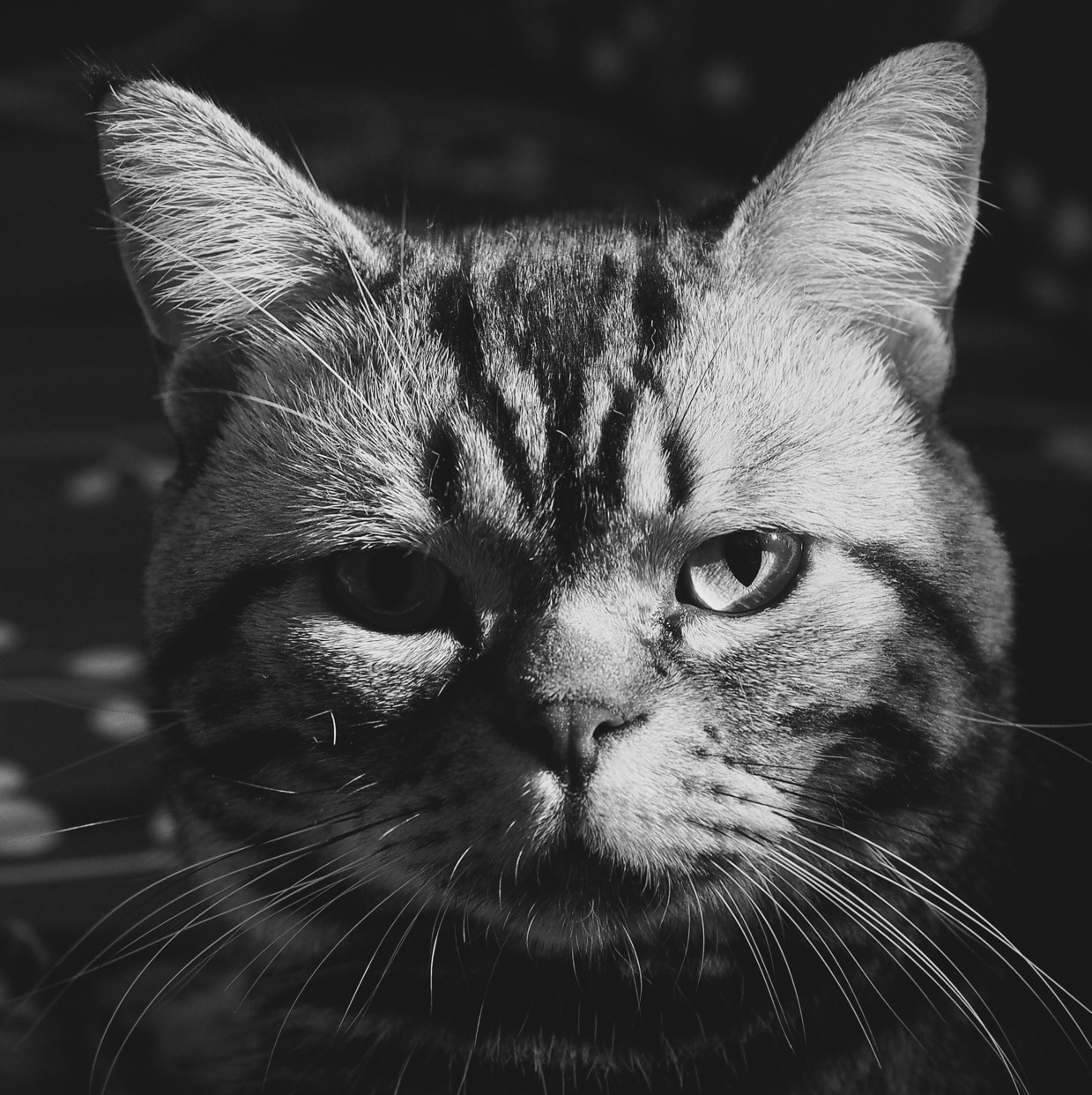 加菲猫加肥