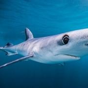 翱翔的大鲨鱼