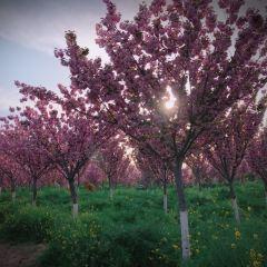 豐樂櫻花園用戶圖片