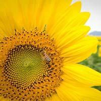 向日葵能吃吗