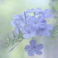 蓝色栀子花