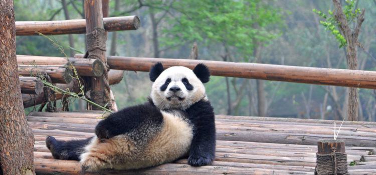 Chengdu Research Base of Giant Panda Breeding1