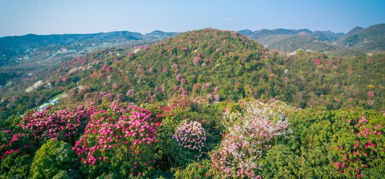 百里杜鵑風景區