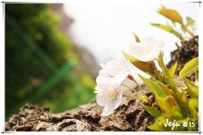 樱花大道-济州岛-萧琳