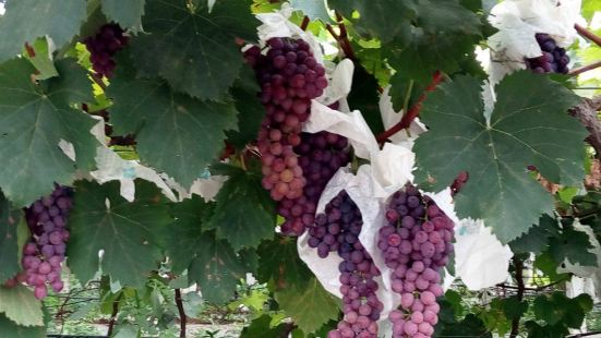 楊家現代葡萄產業園