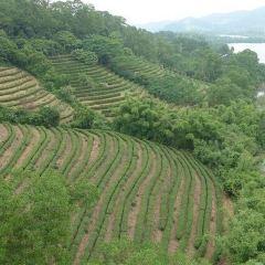 Sanzhou Tea Garden User Photo