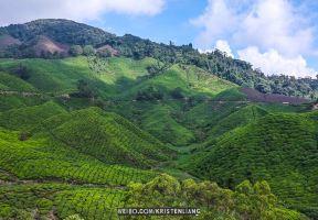 茶山、薰衣草園、草莓農場,金馬倫高原的6個人氣景點!