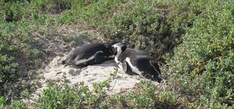 Boulders Penguin Colony3
