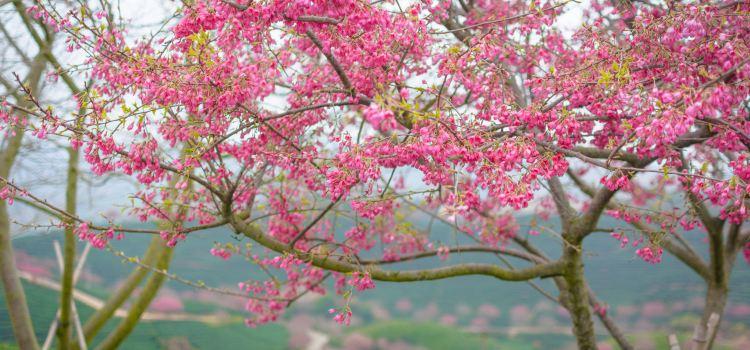 Yongfu Cherry Blossom Garden3