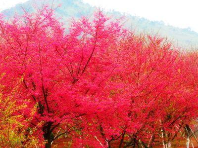 盛世櫻花悠樂谷