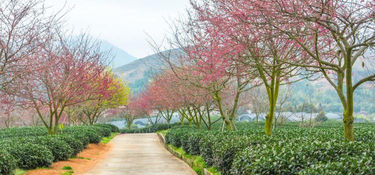 Yongfu Cherry Blossom Garden2