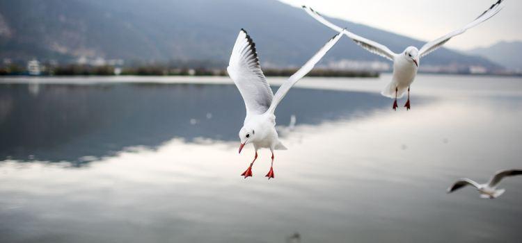 滇池觀鳥3