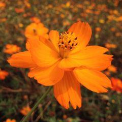Maple Flower Sea User Photo