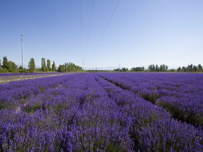 Princess Jieyou's Lavender Garden