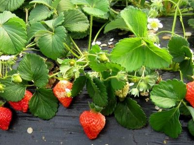 二喇嘛草莓採摘