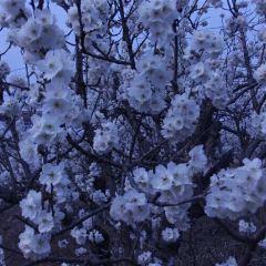 櫻桃溝用戶圖片