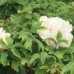 Caozhou Peony Garden User Photo