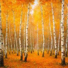 可哥托海白樺林用戶圖片