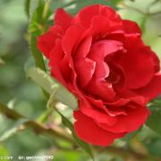 雨中的蔷薇2005