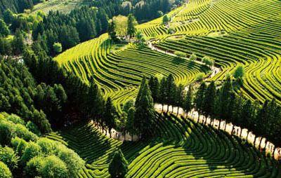 Boseong Daehan Tea Plantation