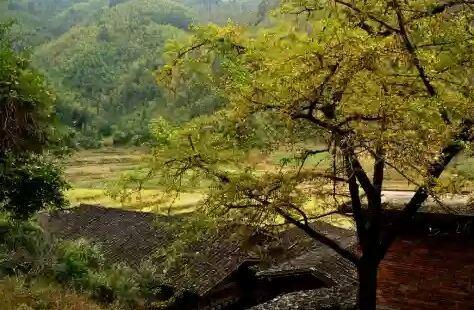 Longmen Field Ancient Ginkgo