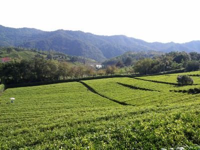 Yannanfei Tea Fields