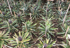 Arruda Pineapple Plantation-蓬塔德尔加达