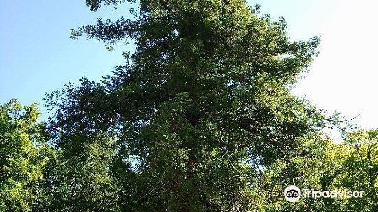 Albero monumentale - Sequoia