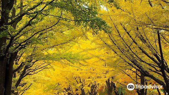 Hokkaido University Gingko Trees
